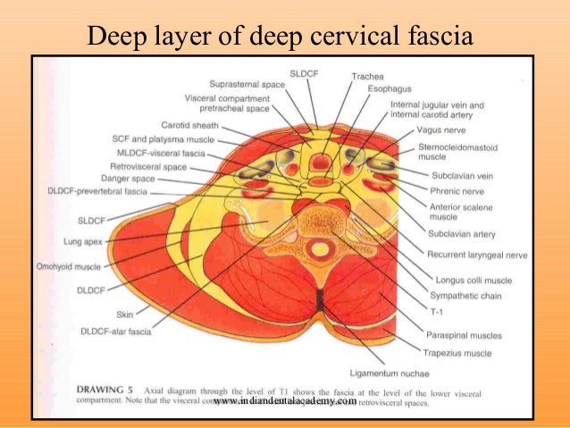 cervical fascia deep neck compartments layer space head anatomy fixed infection buccopharyngeal dental orthodontic certified courses indian academy проходят над
