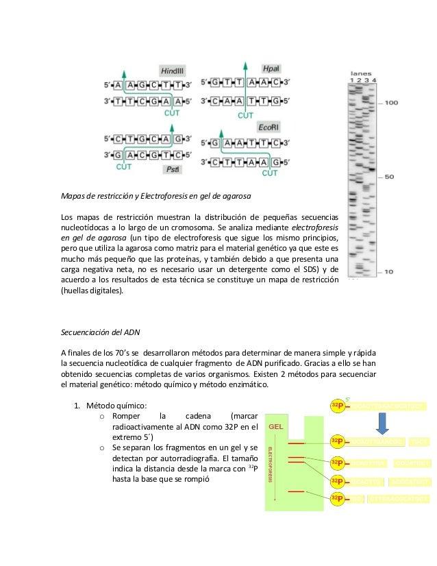 Mapas de restricción y Electroforesis en gel de agarosa Los mapas de restricción muestran la distribución de pequeñas secu...