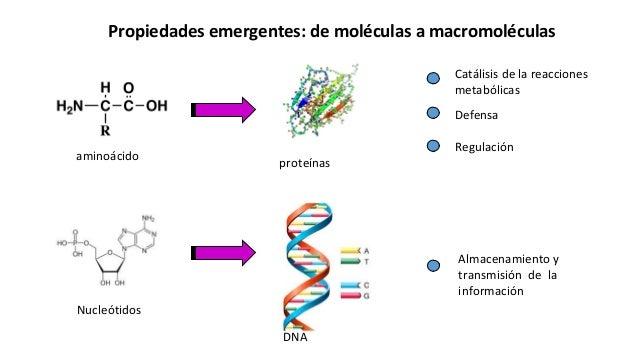 Propiedades emergentes: de moléculas a macromoléculas aminoácido proteínas Catálisis de la reacciones metabólicas Defensa ...