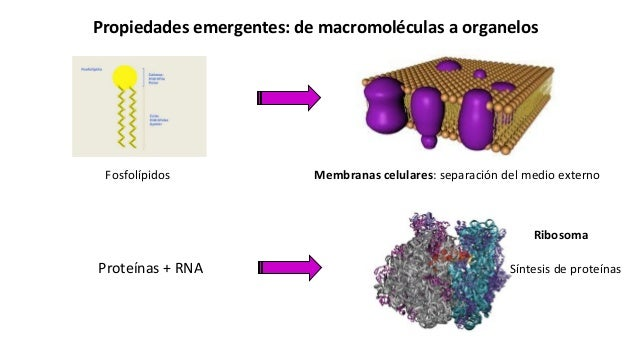 Propiedades emergentes: de macromoléculas a organelos Fosfolípidos Membranas celulares: separación del medio externo Prote...