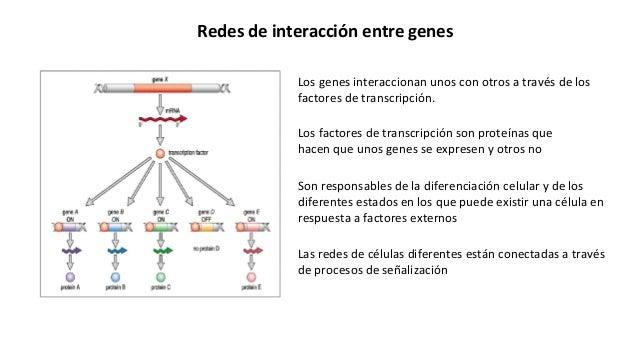 Son responsables de la diferenciación celular y de los diferentes estados en los que puede existir una célula en respuesta...