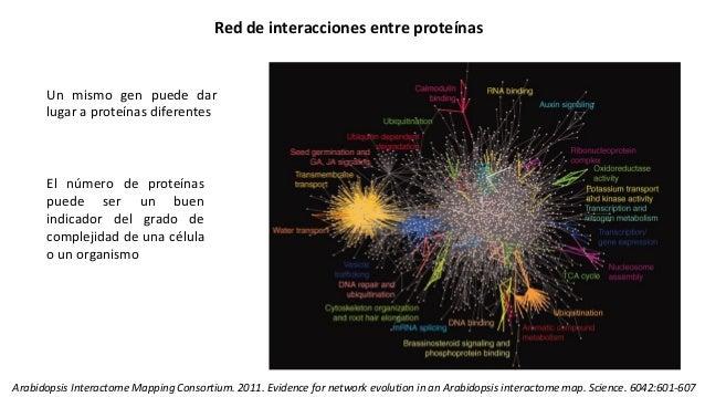 Red de interacciones entre proteínas Un mismo gen puede dar lugar a proteínas diferentes El número de proteínas puede ser ...