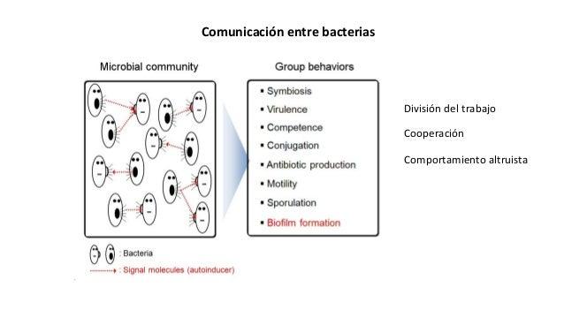 Comunicación entre bacterias División del trabajo Cooperación Comportamiento altruista