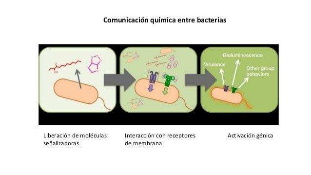 Comunicación química entre bacterias Liberación de moléculas señalizadoras Interacción con receptores de membrana Activaci...