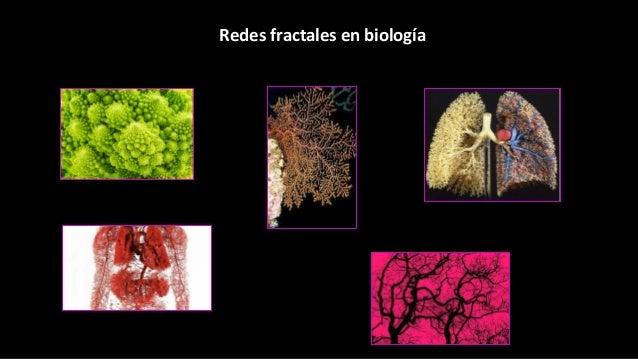Redes fractales en biología