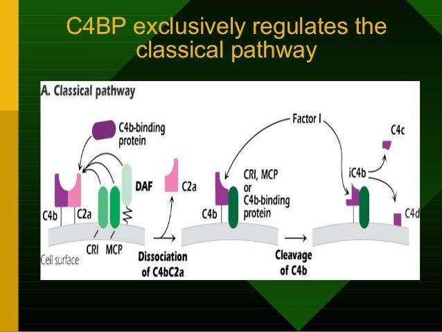 C4BP exclusively regulates the classical pathway