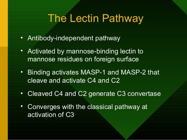 The Lectin Pathway • Antibody-independent pathway • Activated by mannose-binding lectin to mannose residues on foreign sur...