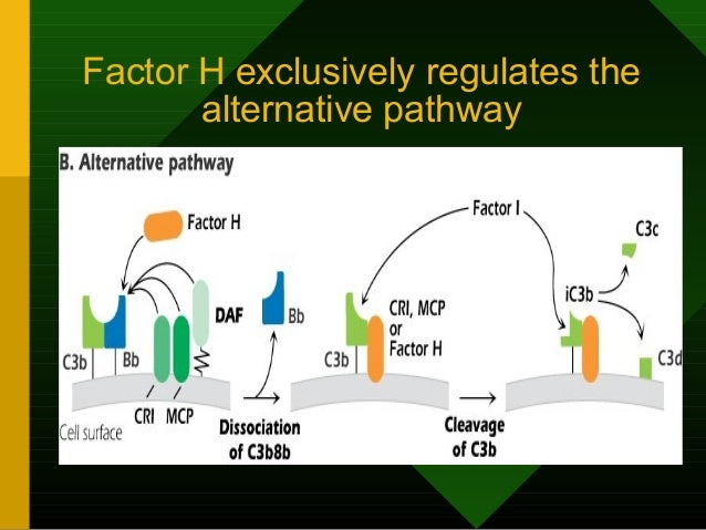 Factor H exclusively regulates the alternative pathway
