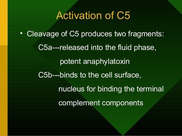 Activation of C5 • Cleavage of C5 produces two fragments: C5a---released into the fluid phase, potent anaphylatoxin C5b---...