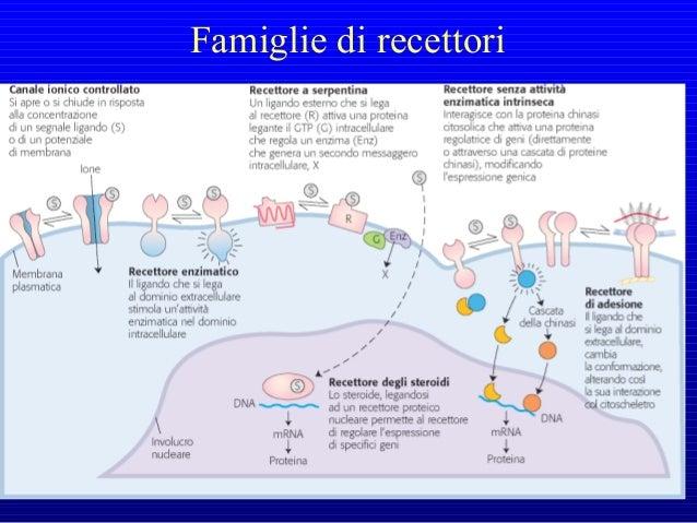 Alcuni recettori di membrana non attivano direttamente la risposta cellulare, ma un'altra proteina di membrana, denominata...