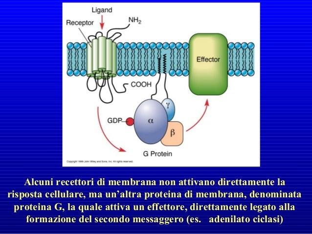 recettore tsqi G proteina cAMPCa2+ messaggero intracellulare enzimacanale effettore Signalling mediante recettori accoppia...