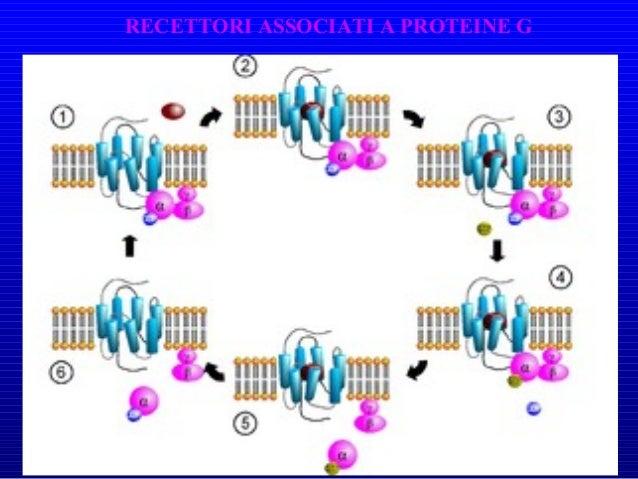 Recettori 7TM • 7 tratti transmembrana • > 2000 recettori • Presenti in tutti gli eucarioti • Funzioni biologiche diverse ...