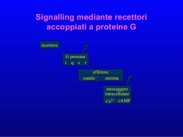 7TM receptors • Il recettore lega una molecola segnale extracellulare, subendo un cambiamento conformazionale che consente...