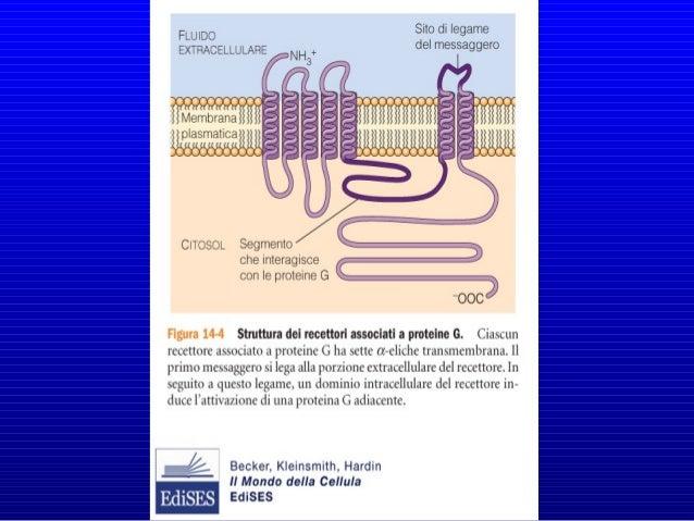 I bersagli dei componenti dissociati delle proteina G sono enzimi (adenilato ciclasi, fosfolipasi ) o canali ionici che tr...