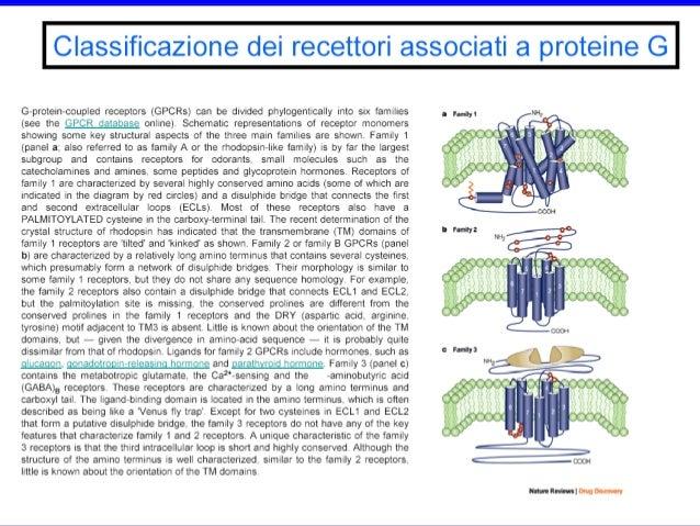 Disassemblaggio di una proteina G attivata in 2 componenti di segnalazione