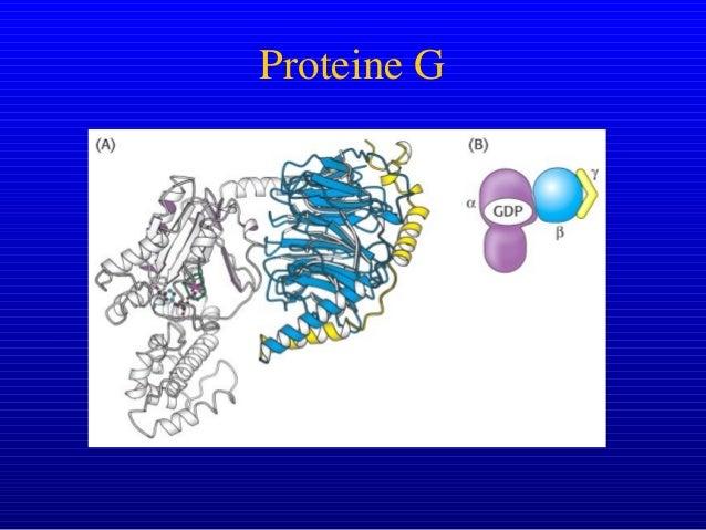 Gs vs. Gi Regolazione dell'attività dell'adenilato ciclasi Gs stimola adenilato ciclasi Gi inibisce adenilato ciclasi L'ad...