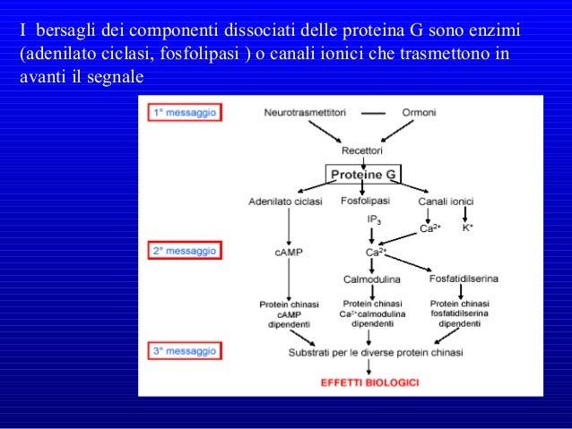 L'adenosin mono- fosfato ciclico (cAMP), che viene formato a partire dall'ATP, è un esempio di secondo messaggero molto ut...
