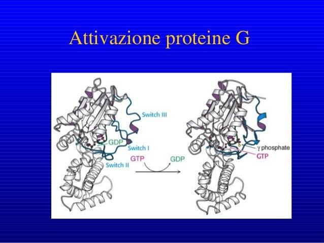 La formazione di cAMP a partire dall'ATP è catalizzata dall'enzima adenilato ciclasi, presente nella membrana plasmatica. ...