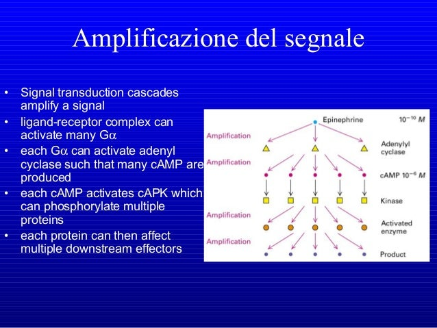 QUAL'E' LA FUNZIONE DELL'AMP CICLICO E DEL CALCIO?  SECONDI MESSAGGERI  attivazione della proteina chinasi dipendente da...