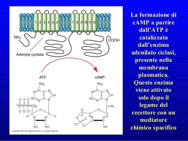 Ca+2 ha la funzione di messaggero intracellulare ubiquitario. • nella cellula uovo, un improvviso aumento della concentraz...