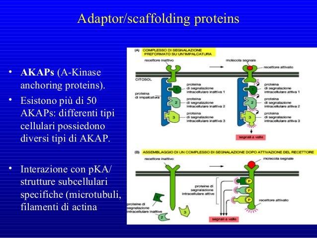 Biochem.J. (2003) 375, 503-51 La β-arrestina interagendo con proteine diverse guida il destino del recettore, favorendo l'...