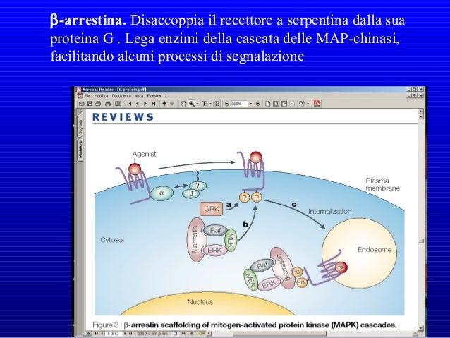 Spegnimento della subunità α della proteina G La subunita αα è dotata di una attività GTPasicaè dotata di una attività GTP...