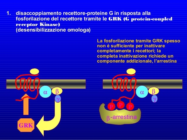 Un esempio molto importante di recettori RTK è rappresentato dai recettori di molti fattori di crescita, come EGF e PDGF. ...