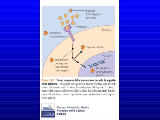 • L'informazione recepita dai recettori viene tradotta e trasferita • Cellule specializzate in grado di produrre molecole ...