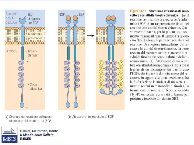 • Gas disciolto • Prodotto secondario dall'aminoacido arginina • Passa facilmente attraverso le membrane • Cellule endotel...