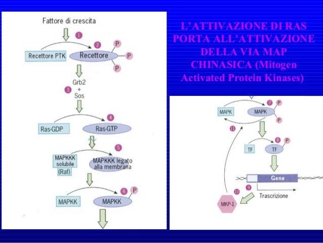 • ProteoglicaniProteoglicani: Grosse molecole costituite da un nucleo proteico a cui sono attaccate molecole di glicosamin...