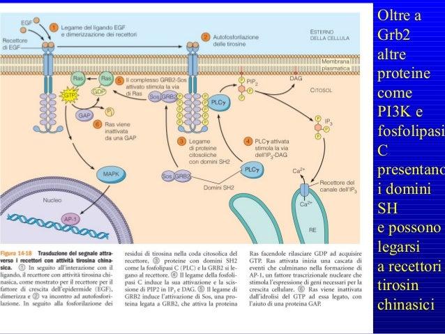 Le modificazioni conformazionali successive al legame della integrina a collagene o fibronectina, determinano l'interazion...