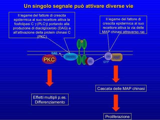 Analogamente, una modificazione della struttura tridimensionale della proteina integrina può determinare l'attivazione di ...