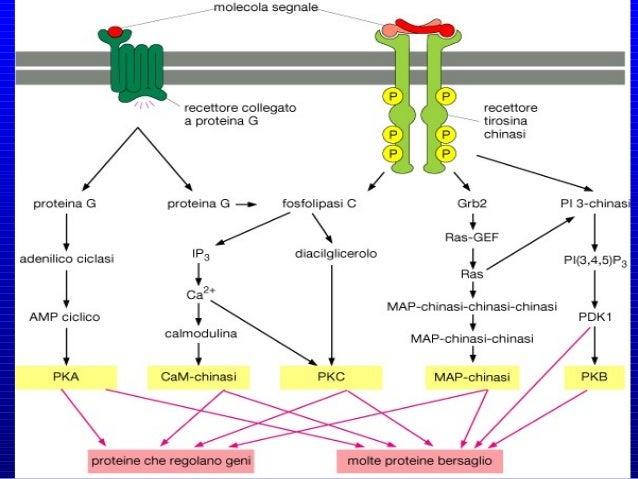 Anche le caderine (Ca++ -aderine) (recettori adesivi che mediano il riconoscimento e l'adesione cellula-cellula, insieme a...
