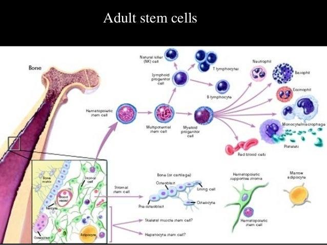 a l l adult stem cells