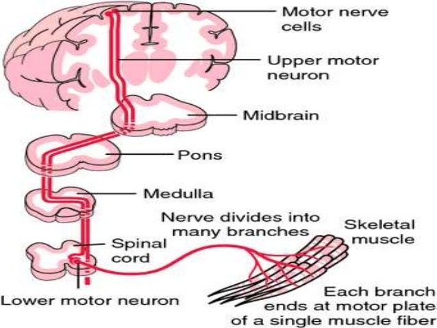 upper motor neuron vs lower motor neuron