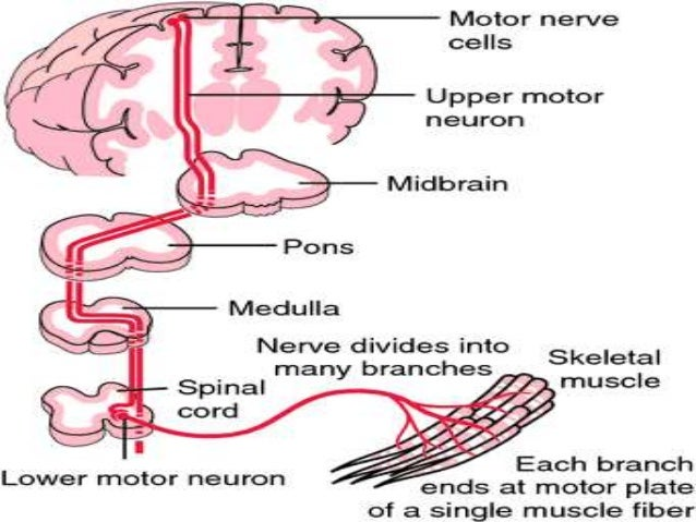 Fasciculations lower motor neuron for What is a motor neuron