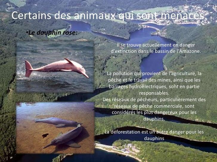 Certains des animaux qui sont menacés:<br /><ul><li>Le dauphin rose:</li></ul>Il se trouve actuellement en danger d'extinc...