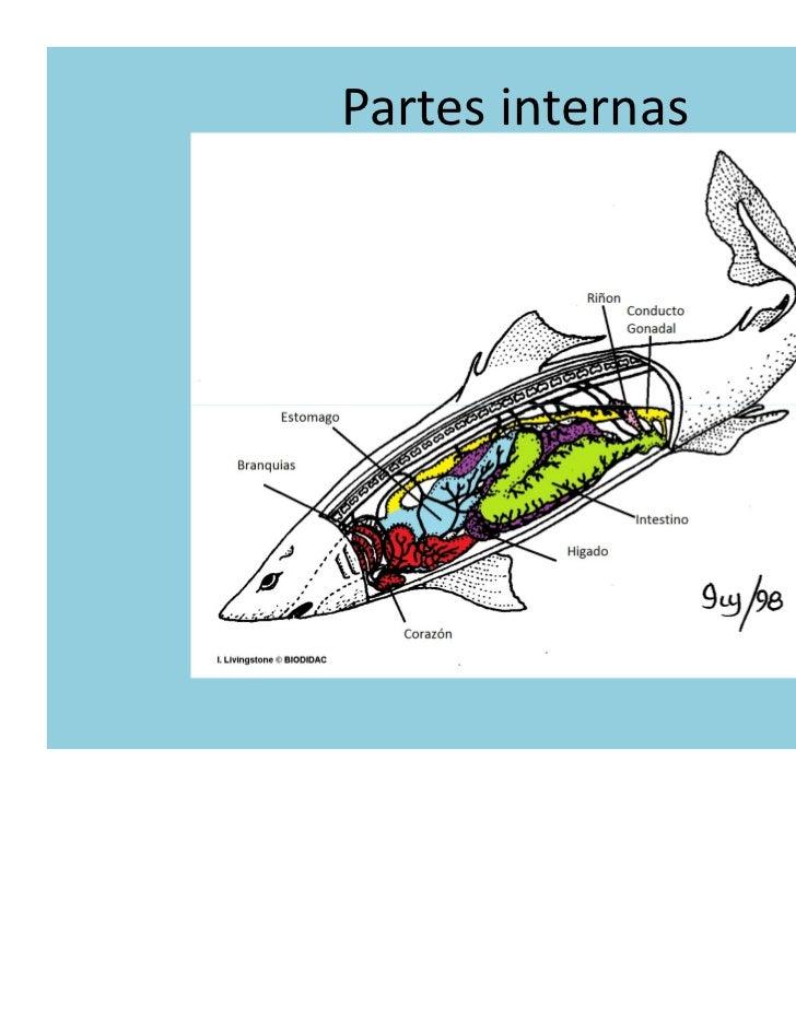 Hermosa Anatomía Del Tiburón Interna Ideas - Imágenes de Anatomía ...
