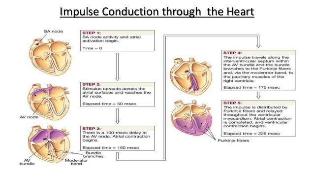 Electrical Conduction Of The Heart Steps - slide share