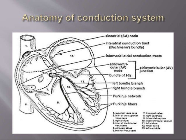 conduction system and relationship to ecg interpretation
