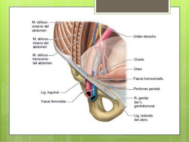 Conducto inguinal y cordon espermatico anatomia (imagenes)
