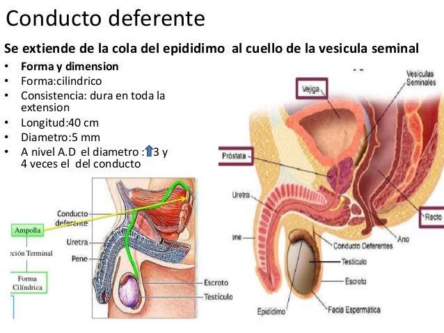 Conductos espermaticos.pptxcx
