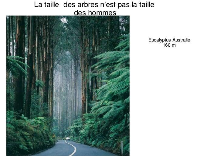 La taille des arbres nest pas la taille             des hommes                                      Eucalyptus Australie  ...