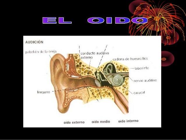 El órgano del olfato es la nariz. Nos permite percibir y distinguir los olores. Sus partes son: - Dos orificios, por los q...
