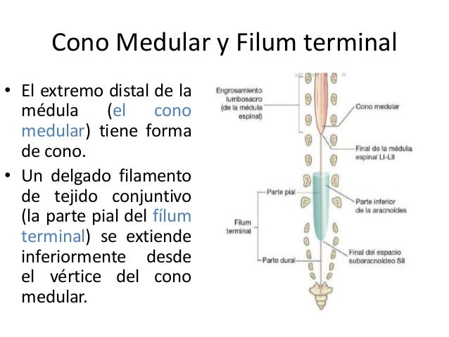 Configuracion Externa E Interna De La Medula Espinal Nervios Espinal Conocida como cola de caballo (cauda equina, en latín), este grupo de nervios determina la sensación y funcionamiento de la vejiga, intestinos, órganos sexuales y piernas. configuracion externa e interna de la