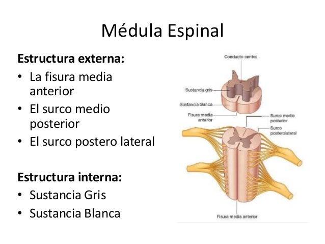 Configuración Externa E Interna De La Médula Espinal