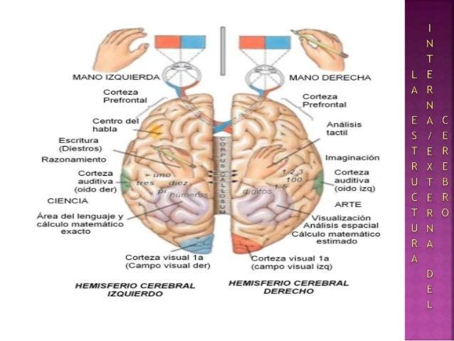 Configuración Internaexterna Del Cerebro