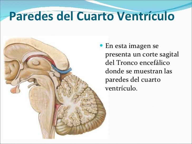 Configuracion externa del tallo cerebral