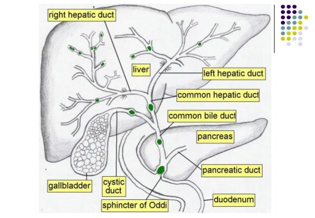 congenital anamalies of biliary system aryaja, Human Body