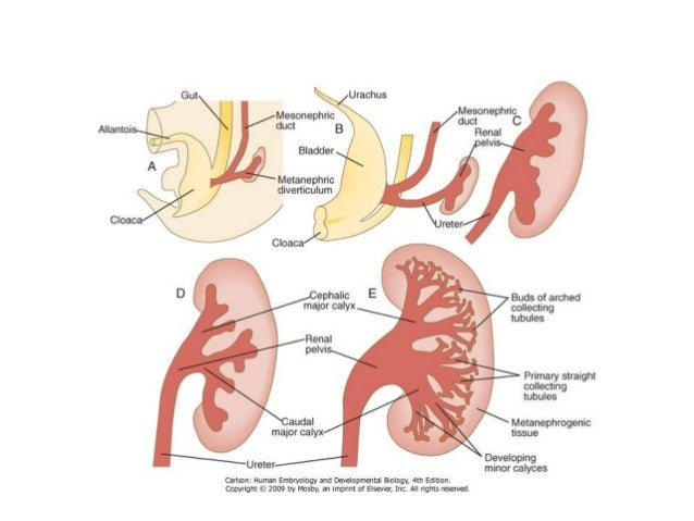 Normal Function of the Urinary system: Kidney : 1- Filters blood- remove and eliminate soluble waste ( urine). 2- Regulate...